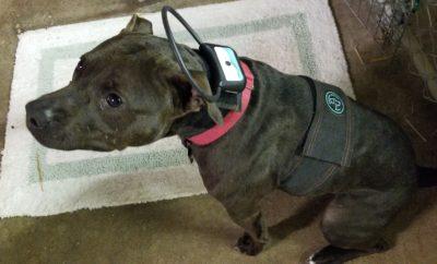 Reba wearing Calmer Canine